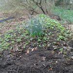 Foto af komposten, en jordbunke med spirende skvalderkål.
