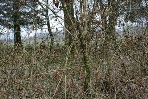 Billede af et vildnis med en masse brombærgrene.