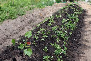 Nyanlagt hugelbed med tomater, squash, blomster, porrer og lidt ærter