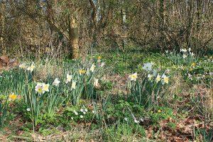 billede af et naturpræget bed, hvor påskeliljer m.m. blomstrer.