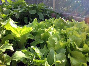 Salat og radiser
